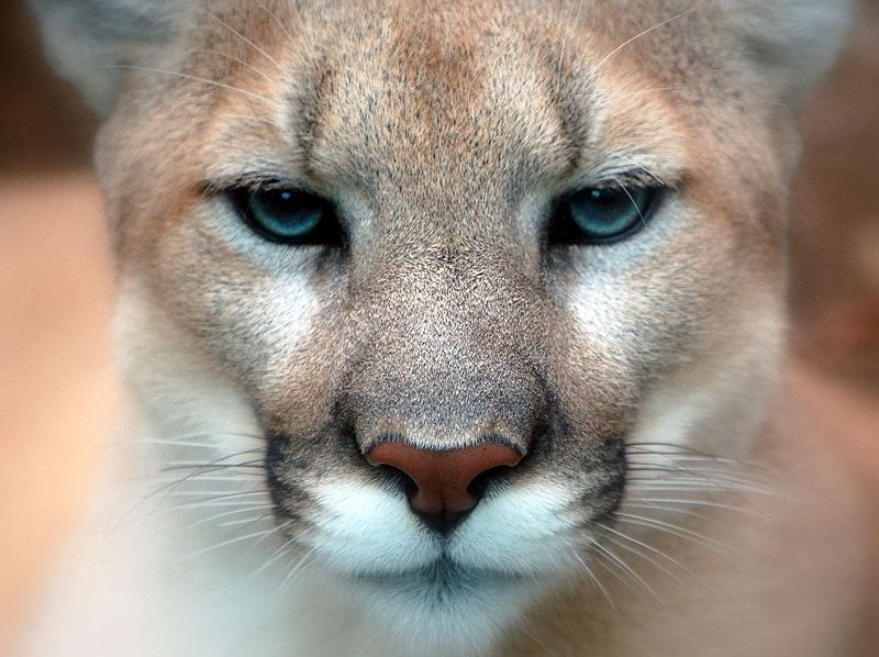 Mountain Lion Sighting in Delaware