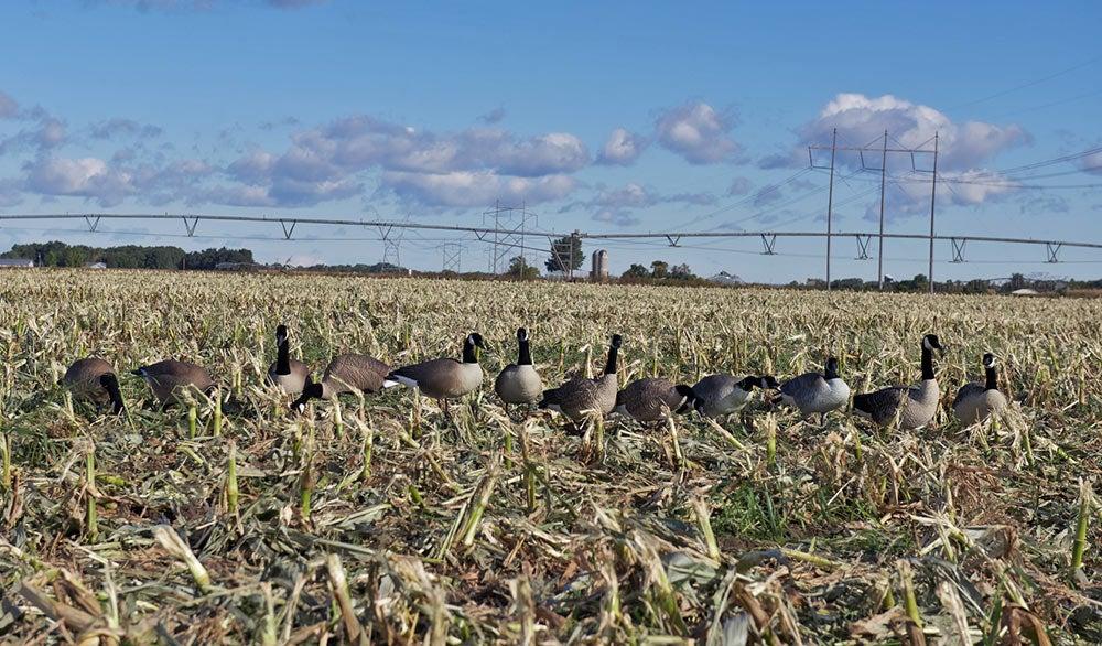 full body canada geese spread