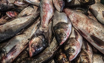 Fish Food: This New Demand for Asian Carp Might Help Our Waterways
