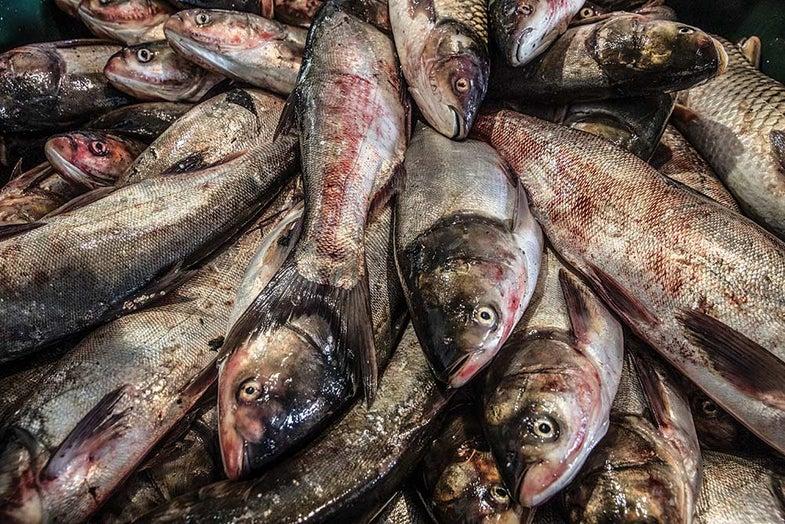 a pile of asian carp