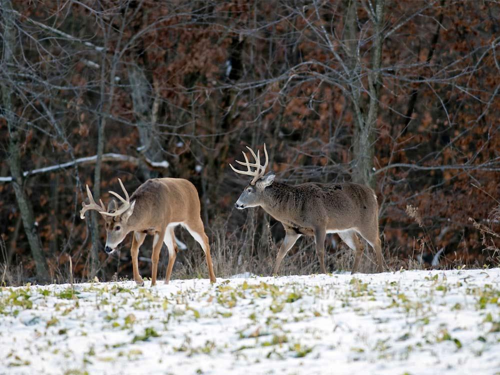 bucks on snowy plot