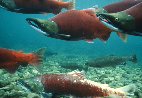 Dogs and Salmon Poisoning