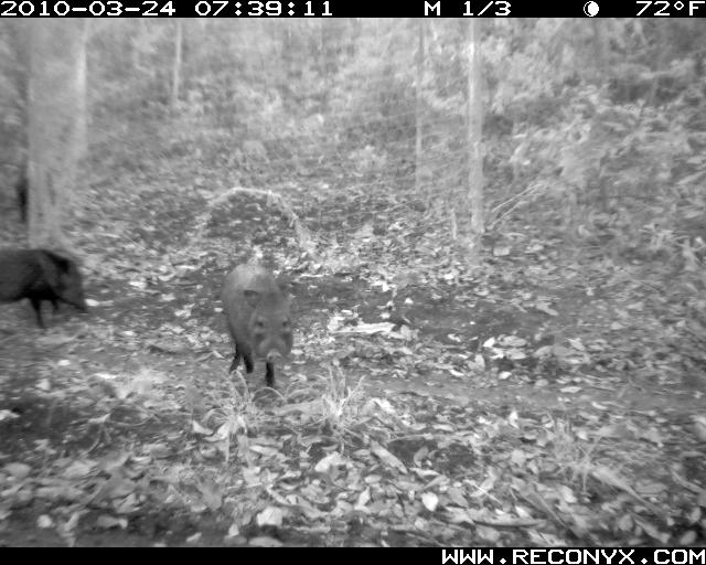 Peccary Photos from the Yucatan