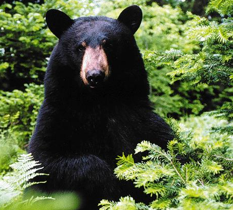 Bear Attacks: Lone Males Kill More People Than Females With Cubs