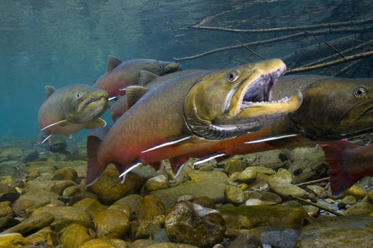Video: USFWS Reintroduces Bull Trout in Oregon, Population Thriving