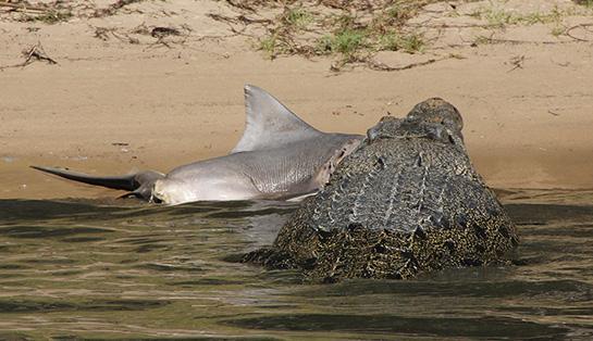 Croc vs. Shark: Giant Saltwater Crocodile Eats Bull Shark