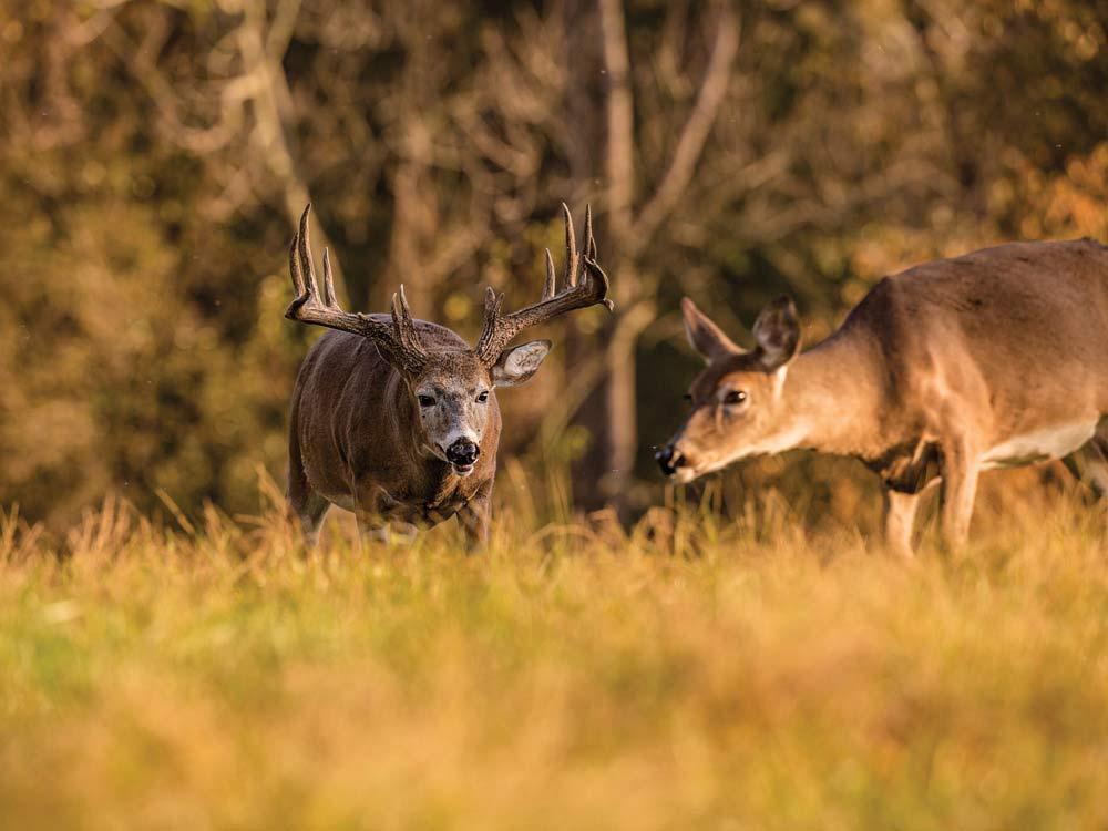 a buck and doe in a field