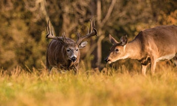 3 Ways You Can Manipulate the Whitetail Rut Right Now