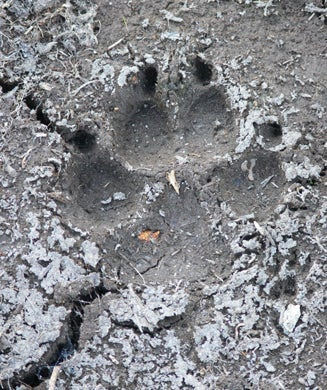 How to Identify Tracks of 10 Common North American Species
