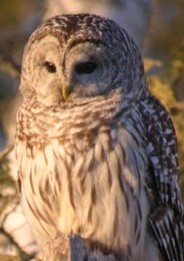 Owl Hooting for Gobblers