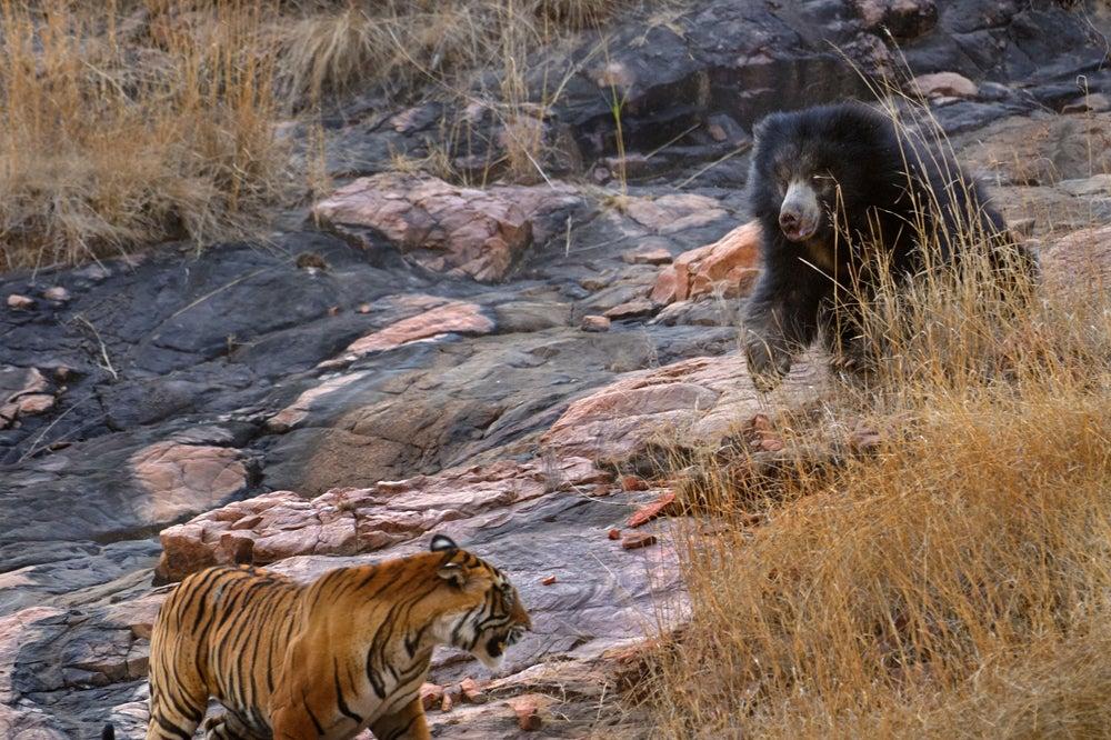 httpswww.outdoorlife.comsitesoutdoorlife.comfilesimport2014importImage2011photo10013215794_3_CATERS_Bear_tiger_04.jpg