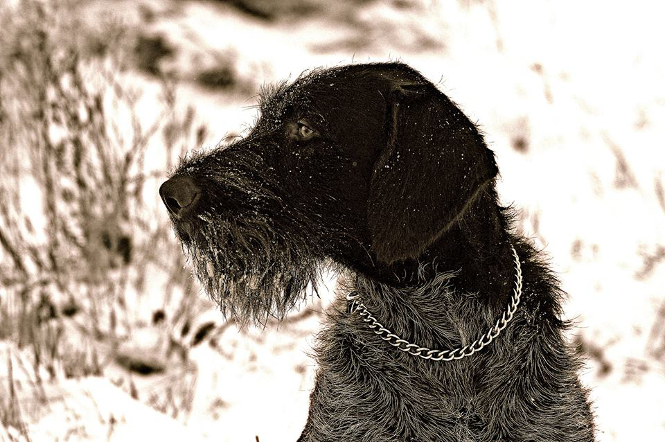 Top Dogs: Baron, the German Wirehaired Pointer