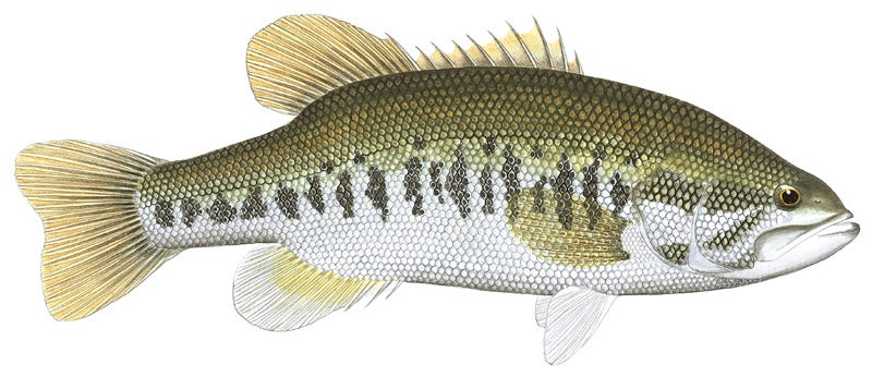 httpswww.outdoorlife.comsitesoutdoorlife.comfilesimport2014importImage2010photo3001070B_largemouth_bass.jpg