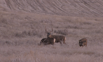 Video: Hunting the Mule Deer Rut in Montana