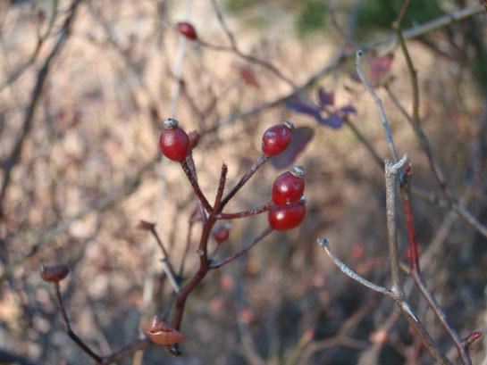 Survival Skills:  Finding The Best Vitamin C Sources In Winter Edibles