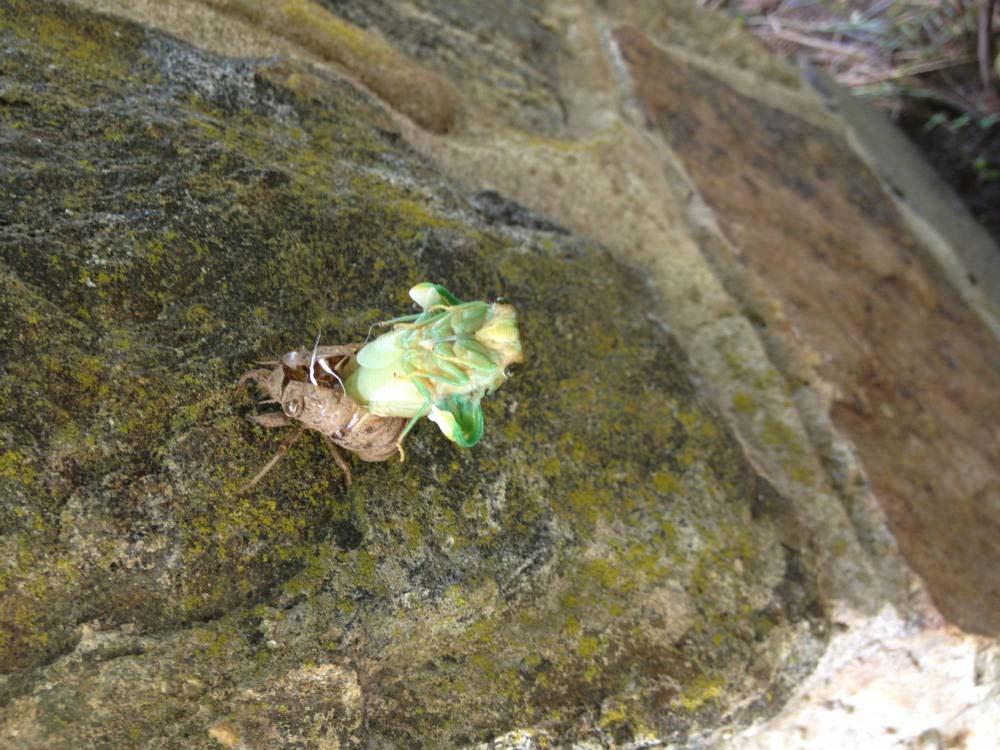 """""""cicadas"""