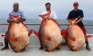 Three California Anglers Land Opah Trio