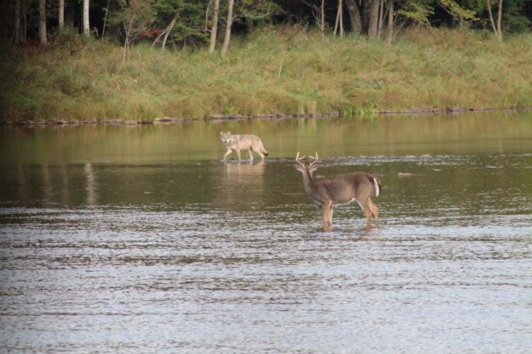 httpswww.outdoorlife.comsitesoutdoorlife.comfilesimport2014importImage2012photo10013215793._Deer_Wolf_sm.jpg
