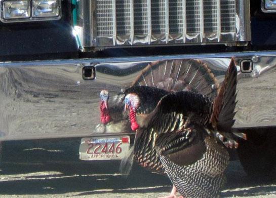 Dumb Turkey Stories