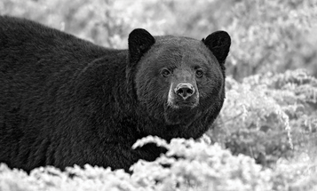 How to Call Fall Bears with Prey Distress Calls