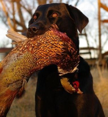 Hunting Dog Profile: The Labrador Retriever