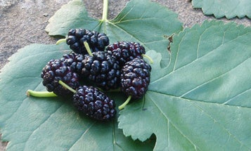 Survival Skills: 5 Uses For Mulberry Fruit