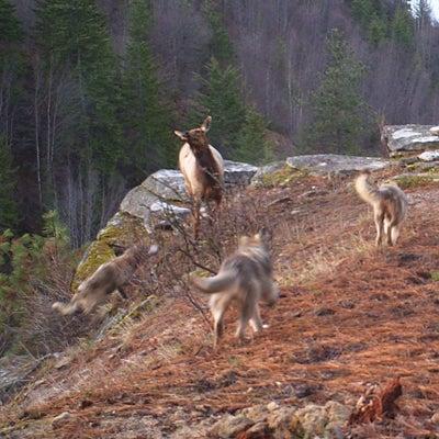 httpswww.outdoorlife.comsitesoutdoorlife.comfilesimport2014importImage2011photo1001321579newwolf.jpg
