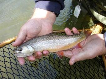 httpswww.outdoorlife.comsitesoutdoorlife.comfilesimport2014importImage2007legacy11TroutTiger.jpg