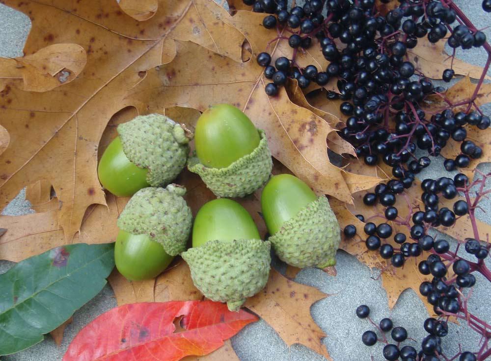 """""""acorns"""
