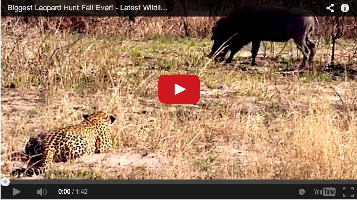 Video: Leopard Stalks Warthog, Forgets How to Hunt
