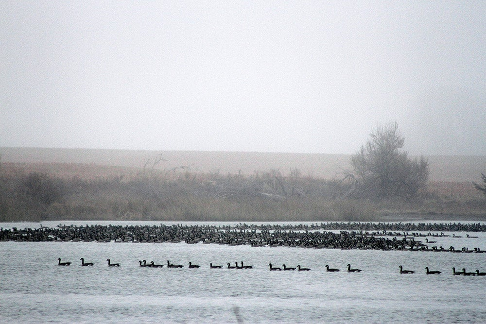 Hundreds of Canada geese on Kansas lake