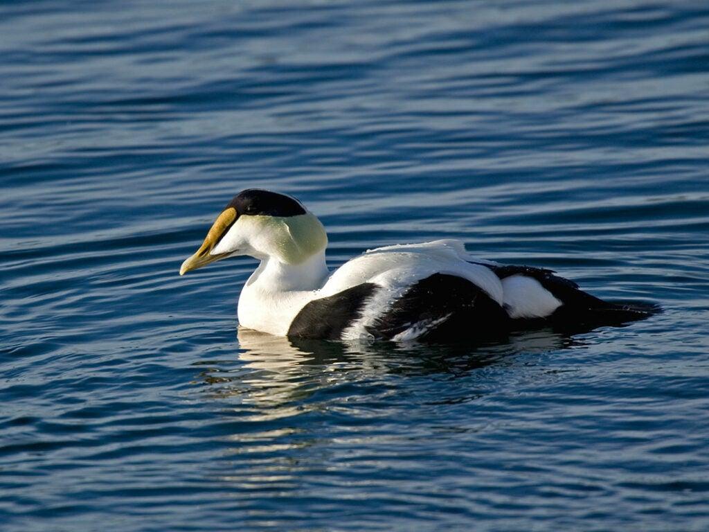 common eider duck, duck species, types of ducks