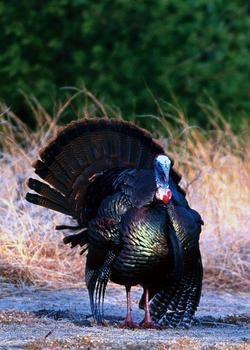 Live Free or Die Turkeys