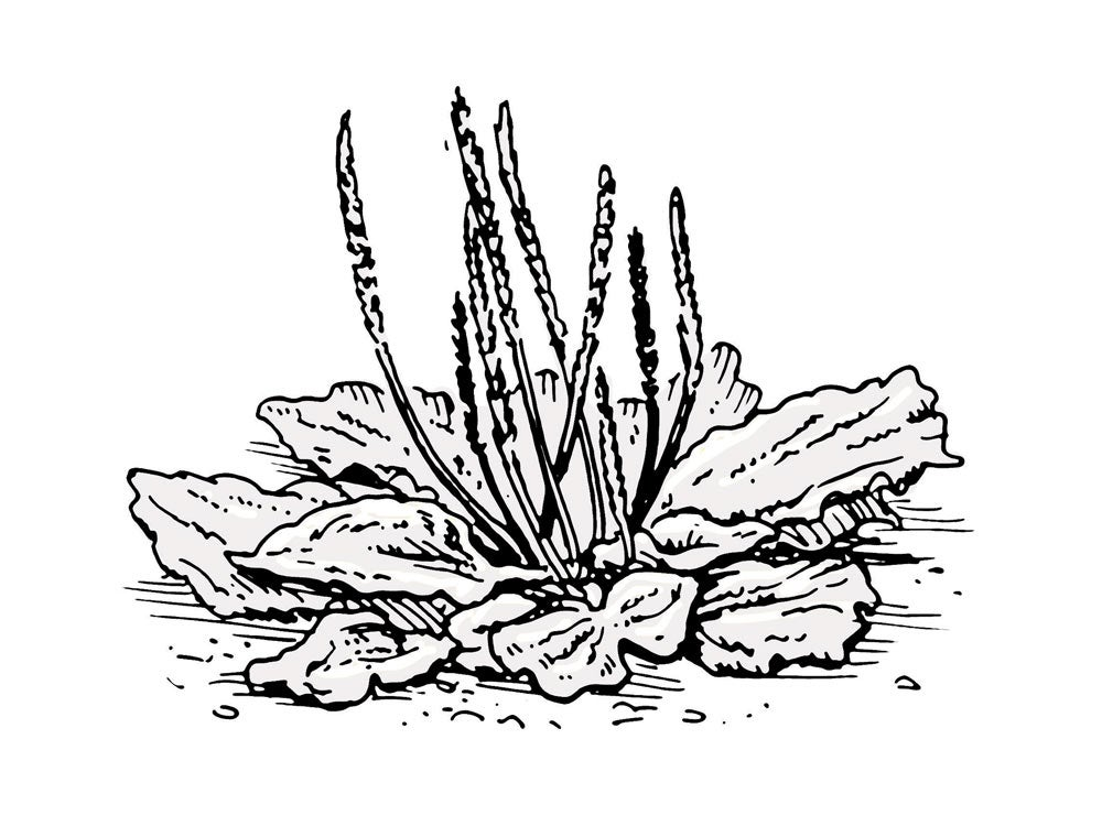 survival tips plantains weeds