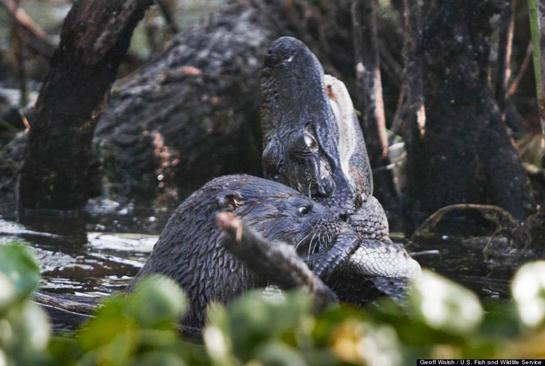 Photos: Otter vs. Alligator