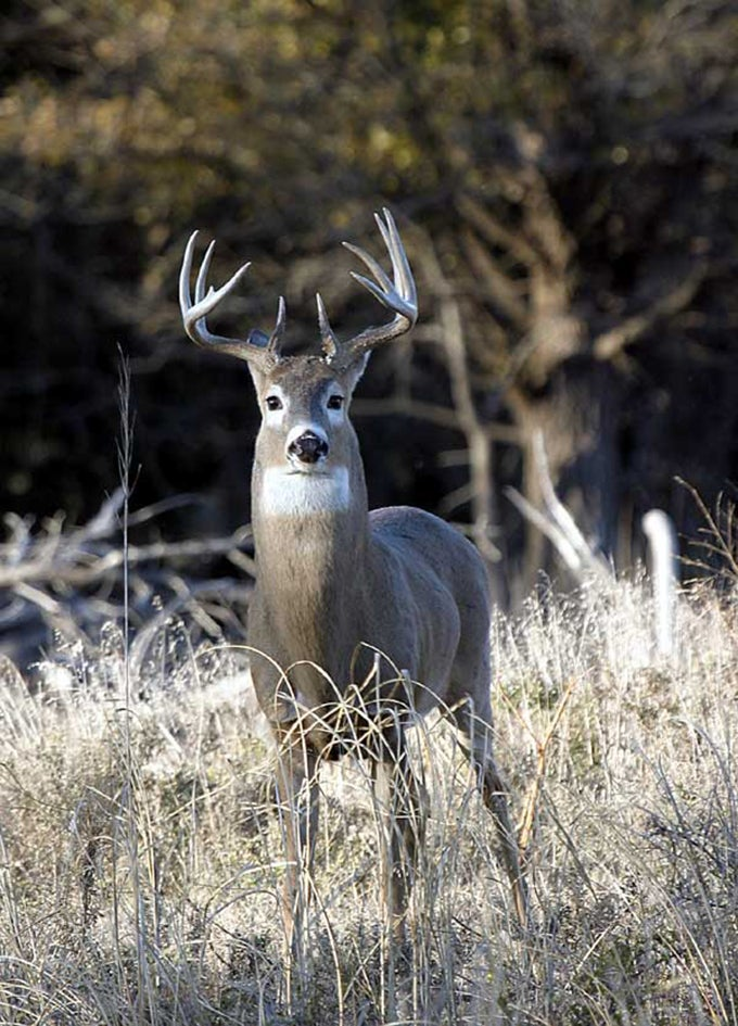 Whitetail Deer: How to Pattern Bucks During the Rut
