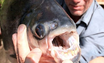 Are You Tough Enough to Take On the Testicle-Eating Pacu Fish?