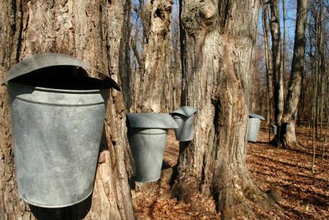 httpswww.outdoorlife.comsitesoutdoorlife.comfilesimport2013images201102tree_tap_0.jpg