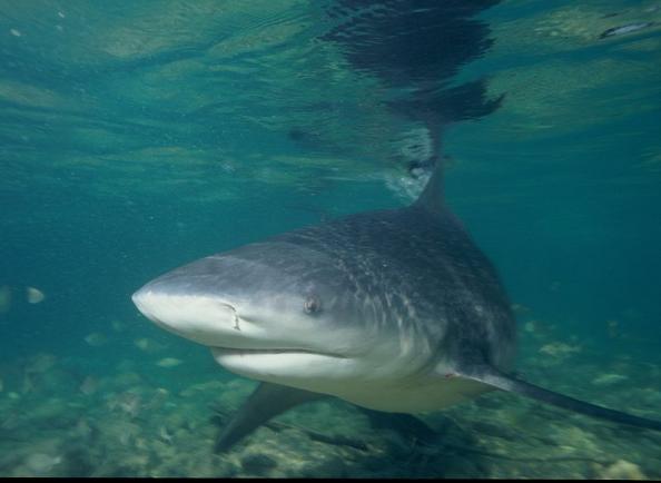 Bull Sharks Invade Australian Golf Course