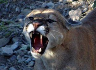 httpswww.outdoorlife.comsitesoutdoorlife.comfilesimport2014importImage2010photo6Mountain_lion_-_Puma_concolor_0_0.jpg