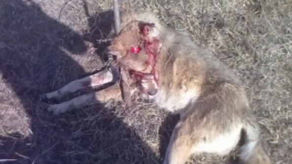 Baddest Grandma Alive: 56-Year-Old Russian Woman Kills Wolf With Axe (Graphic Image)