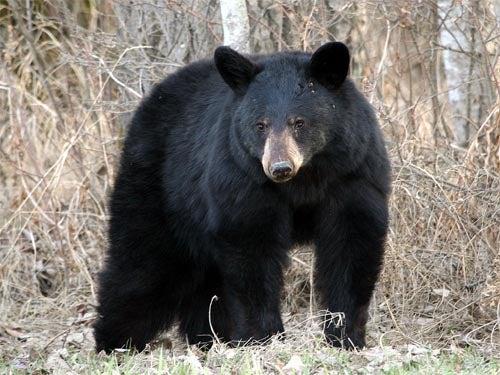 httpswww.outdoorlife.comsitesoutdoorlife.comfilesimport2014importImage2010photo300105_black-bear5B15D.jpg