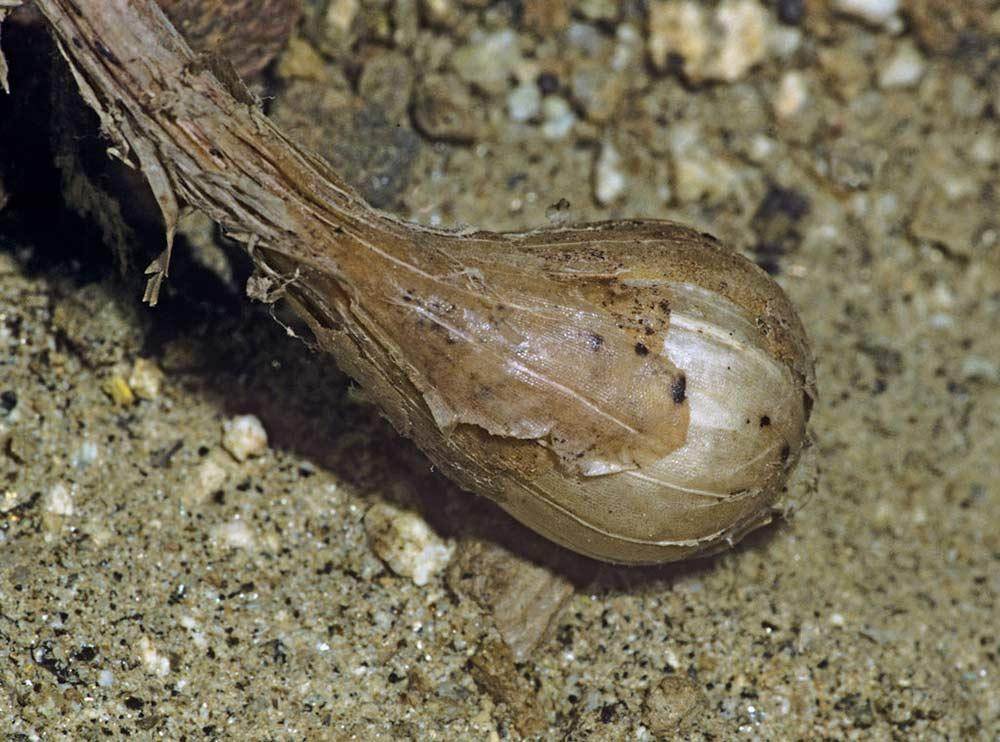 Wild onion (Allium genus)