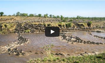 Video: Wildebeest Migration Documented in the Serengeti