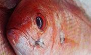 Researchers to Prove Snapper Populations Plentiful in the Gulf