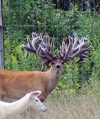 Freak Show Bucks: A Hard Look at Breeding For Antlers