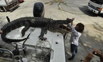 Florida Couple Lands Monster Alligator in Lake George