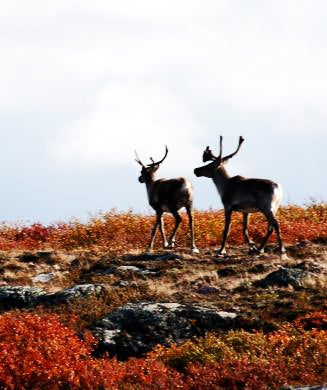 Canada's Caribou Crisis: New Restrictions Frustrate Hunters, Baffle Outfitters