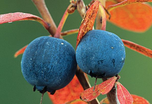httpswww.outdoorlife.comsitesoutdoorlife.comfilesimport2014importBlogPostembed_blueberry.jpg