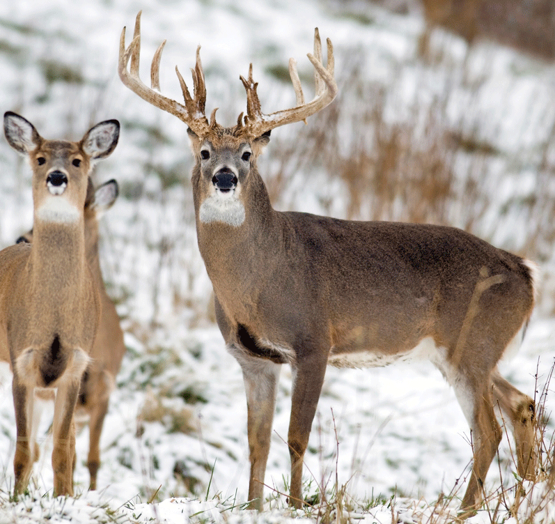 Scents and Hunting Mature Bucks, Pt. 2
